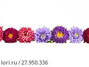 Купить «Colorful aster flowers isolated on white background», фото № 27950336, снято 18 января 2019 г. (c) PantherMedia / Фотобанк Лори