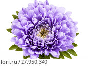Купить «Single violet flower of aster isolated on white background, close up», фото № 27950340, снято 22 октября 2018 г. (c) PantherMedia / Фотобанк Лори