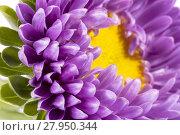 Купить «Single violet flower of aster on white background, close up», фото № 27950344, снято 18 января 2019 г. (c) PantherMedia / Фотобанк Лори