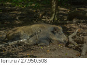 Купить «wild boar in the undergrowth», фото № 27950508, снято 16 января 2019 г. (c) PantherMedia / Фотобанк Лори