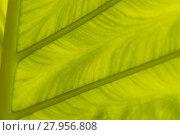 Купить «backlit fresh green palm leaf, close up», фото № 27956808, снято 22 апреля 2019 г. (c) PantherMedia / Фотобанк Лори