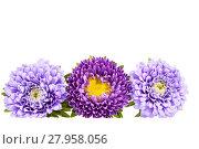 Купить «Aster flowers isolated on white background .», фото № 27958056, снято 15 августа 2018 г. (c) PantherMedia / Фотобанк Лори