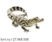 Купить «young crocodile on white background», фото № 27968508, снято 18 июня 2019 г. (c) PantherMedia / Фотобанк Лори