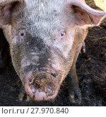 Купить «Muddy pig in a sty», фото № 27970840, снято 16 октября 2018 г. (c) PantherMedia / Фотобанк Лори