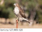 Купить «Red-tailed Hawk - Buteo jamaicensis, Juvenile», фото № 27989120, снято 16 сентября 2019 г. (c) PantherMedia / Фотобанк Лори