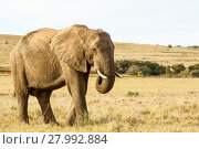 Купить «African Elephant Eating grass in a field», фото № 27992884, снято 19 февраля 2019 г. (c) PantherMedia / Фотобанк Лори