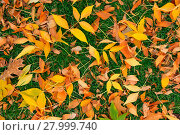 Купить «Colorful fall leafs on green grass background », фото № 27999740, снято 19 декабря 2018 г. (c) PantherMedia / Фотобанк Лори