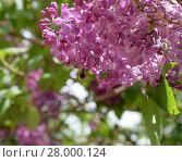 Купить «Bombyliidae on lilac. Shaggy fly on lilac colors. insect pollinator», фото № 28000124, снято 18 июня 2018 г. (c) PantherMedia / Фотобанк Лори