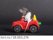 Купить «Baby rat on the toy car», фото № 28003276, снято 29 марта 2013 г. (c) Argument / Фотобанк Лори