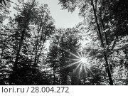 Купить «the sunlight penetrates the trees in the forest in the afternoon.», фото № 28004272, снято 18 августа 2018 г. (c) PantherMedia / Фотобанк Лори