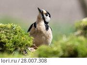 Купить «great spotted woodpecker foraging», фото № 28007308, снято 16 октября 2018 г. (c) PantherMedia / Фотобанк Лори