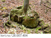 Купить «tree with exposed roots of a rock surrounds in a forest in styria», фото № 28007404, снято 23 октября 2018 г. (c) PantherMedia / Фотобанк Лори