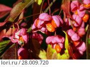 Купить «ripe fruit of the spindle tree (euonymus europaeus)», фото № 28009720, снято 22 марта 2019 г. (c) PantherMedia / Фотобанк Лори