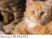 Купить «close up of red tabby cat», фото № 28014412, снято 15 ноября 2017 г. (c) Syda Productions / Фотобанк Лори