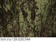 Купить «Tree Bark with Lichens», фото № 28020544, снято 19 октября 2018 г. (c) PantherMedia / Фотобанк Лори