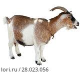 Купить «Goat standing isolated», фото № 28023056, снято 22 января 2019 г. (c) Яков Филимонов / Фотобанк Лори