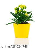 Купить «kalanchoe blossfeldiana,family crassulaceae (crassulaceae)», фото № 28024748, снято 18 января 2019 г. (c) PantherMedia / Фотобанк Лори