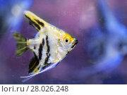 Купить «Angelfish (Pterophyllum scalare), macro», фото № 28026248, снято 30 ноября 2017 г. (c) Евгений Ткачёв / Фотобанк Лори