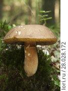 Купить «gigantic edible mushroom (Boletus edulis Bull) on forest margin», фото № 28028172, снято 19 октября 2018 г. (c) PantherMedia / Фотобанк Лори