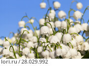 Купить «Forest lily of the valley close-up», фото № 28029992, снято 20 августа 2018 г. (c) PantherMedia / Фотобанк Лори