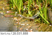 Купить «grass snake in the garden pond», фото № 28031888, снято 23 июля 2019 г. (c) PantherMedia / Фотобанк Лори