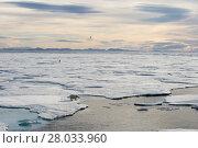 Купить «Polar bear walking on sea ice», фото № 28033960, снято 22 марта 2019 г. (c) PantherMedia / Фотобанк Лори