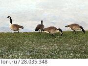 Купить «dwarf canada goose», фото № 28035348, снято 16 октября 2018 г. (c) PantherMedia / Фотобанк Лори