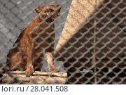 Купить «the south american weasel cat jaguarundi», фото № 28041508, снято 20 августа 2018 г. (c) PantherMedia / Фотобанк Лори
