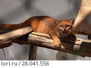 Купить «the south american weasel cat jaguarundi», фото № 28041556, снято 20 августа 2018 г. (c) PantherMedia / Фотобанк Лори