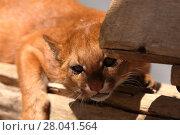Купить «the south american weasel cat jaguarundi», фото № 28041564, снято 20 августа 2018 г. (c) PantherMedia / Фотобанк Лори
