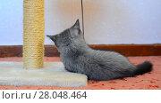 Купить «Gray british kitten playing with toy and scratching post», видеоролик № 28048464, снято 7 июня 2017 г. (c) Володина Ольга / Фотобанк Лори