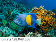 Купить «Yellowbar angelfish (Pomacanthus maculosus), Red Sea, Egypt. January.», фото № 28048556, снято 25 сентября 2018 г. (c) Nature Picture Library / Фотобанк Лори