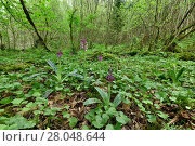 Купить «Early purple orchid (Orchis mascula) in woodland, Clare Glen, County Armagh, Northern Ireland.», фото № 28048644, снято 20 апреля 2018 г. (c) Nature Picture Library / Фотобанк Лори