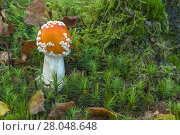 Купить «Fly agaric (Amanita muscaria)  Peatlands Park, County Armagh, Northern Ireland, October.», фото № 28048648, снято 24 мая 2018 г. (c) Nature Picture Library / Фотобанк Лори