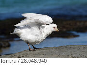 Купить «Pale-faced sheathbill (Chionis albus) flapping wings after bathing in a rock pool, Bleaker Island, Falkland Islands, December.», фото № 28048940, снято 20 мая 2019 г. (c) Nature Picture Library / Фотобанк Лори