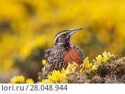 Купить «Long-tailed meadowlark (Sturnella loyca falklandica) female perched on Gorse (Ulex europaeus) Saunders Island, Falkland Islands, November.», фото № 28048944, снято 22 сентября 2018 г. (c) Nature Picture Library / Фотобанк Лори