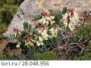 Купить «Milkvetch (Astragalus lusitanicus) flowers,  Cap St Vincent Algarve Portugal, February.», фото № 28048956, снято 21 июня 2019 г. (c) Nature Picture Library / Фотобанк Лори