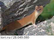Купить «Mountain weasel (Mustela altaica) Sanjiangyuan National Nature Reserve, Qinghai Hoh Xil UNESCO World Heritage Site, Qinghai-Tibet Plateau, Qinghai Province, China.», фото № 28049080, снято 21 июня 2019 г. (c) Nature Picture Library / Фотобанк Лори
