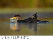 Купить «Cormorant (Phalacrocorax carbo) bathing in a pond. Valkenhorst nature reserve, Valkenswaard, The Netherlands. July», фото № 28049212, снято 19 августа 2018 г. (c) Nature Picture Library / Фотобанк Лори