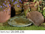 Купить «Hedgehog (Erinaceus europaeus) drinking from water bowl left out on a patio for hedgehogs, at night, Chippenham, Wiltshire, UK, August.  Taken with a remote camera trap. Property released.», фото № 28049236, снято 3 октября 2018 г. (c) Nature Picture Library / Фотобанк Лори