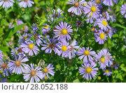 Купить «Астра альпийская (лат. Aster alpinus) цветет в саду летним днем», фото № 28052188, снято 3 августа 2017 г. (c) Елена Коромыслова / Фотобанк Лори