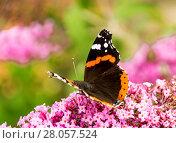 Купить «Butterfly on Buddleia», фото № 28057524, снято 22 октября 2018 г. (c) easy Fotostock / Фотобанк Лори