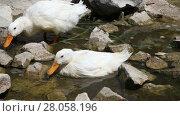 Купить «Duck Couple in a brook closeup», видеоролик № 28058196, снято 4 августа 2013 г. (c) Алексей Кузнецов / Фотобанк Лори
