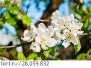 Купить «Spring white flowers of apple tree blooming in the garden. Natural spring flower landscape with blooming apple tree», фото № 28059832, снято 4 июня 2017 г. (c) Зезелина Марина / Фотобанк Лори