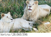 Two white lions lie and have a rest in a grass (2014 год). Редакционное фото, фотограф Елена Антипина / Фотобанк Лори