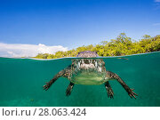 Купить «RF - Split level photo of an American crocodile (Crocodylus acutus) floating at the surface over a shallow seagrass meadow, close to mangroves. Gardens of the Queen National Park, Cuba.», фото № 28063424, снято 20 августа 2018 г. (c) Nature Picture Library / Фотобанк Лори