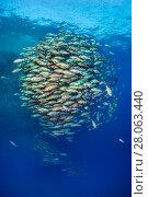 Купить «School of Bohar snapper (Lutjanus bohar) in open water close to a coral reef.  Shark Reef, Ras Mohammed, Sinai, Egypt. Red Sea.», фото № 28063440, снято 25 сентября 2018 г. (c) Nature Picture Library / Фотобанк Лори