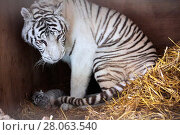 Купить «Female white or bleached tiger with her cub (Panthera tigris), aged 10 days. This tiger is a hybrid crossed from a Siberian tiger and a Bengal tiger, captive, France.», фото № 28063540, снято 19 августа 2018 г. (c) Nature Picture Library / Фотобанк Лори