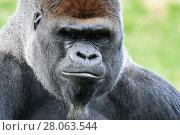 Купить «Male silverback western lowland gorilla (Gorilla gorilla gorilla) head portrait, captive, Beauval Zoo, France», фото № 28063544, снято 24 июля 2019 г. (c) Nature Picture Library / Фотобанк Лори