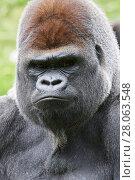 Купить «Male Silverback western lowland gorilla (Gorilla gorilla gorilla) portrait, captive, Beauval Zoo, France.», фото № 28063548, снято 24 июля 2019 г. (c) Nature Picture Library / Фотобанк Лори